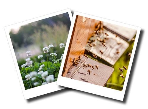 Vente d'essaims romain apiculture